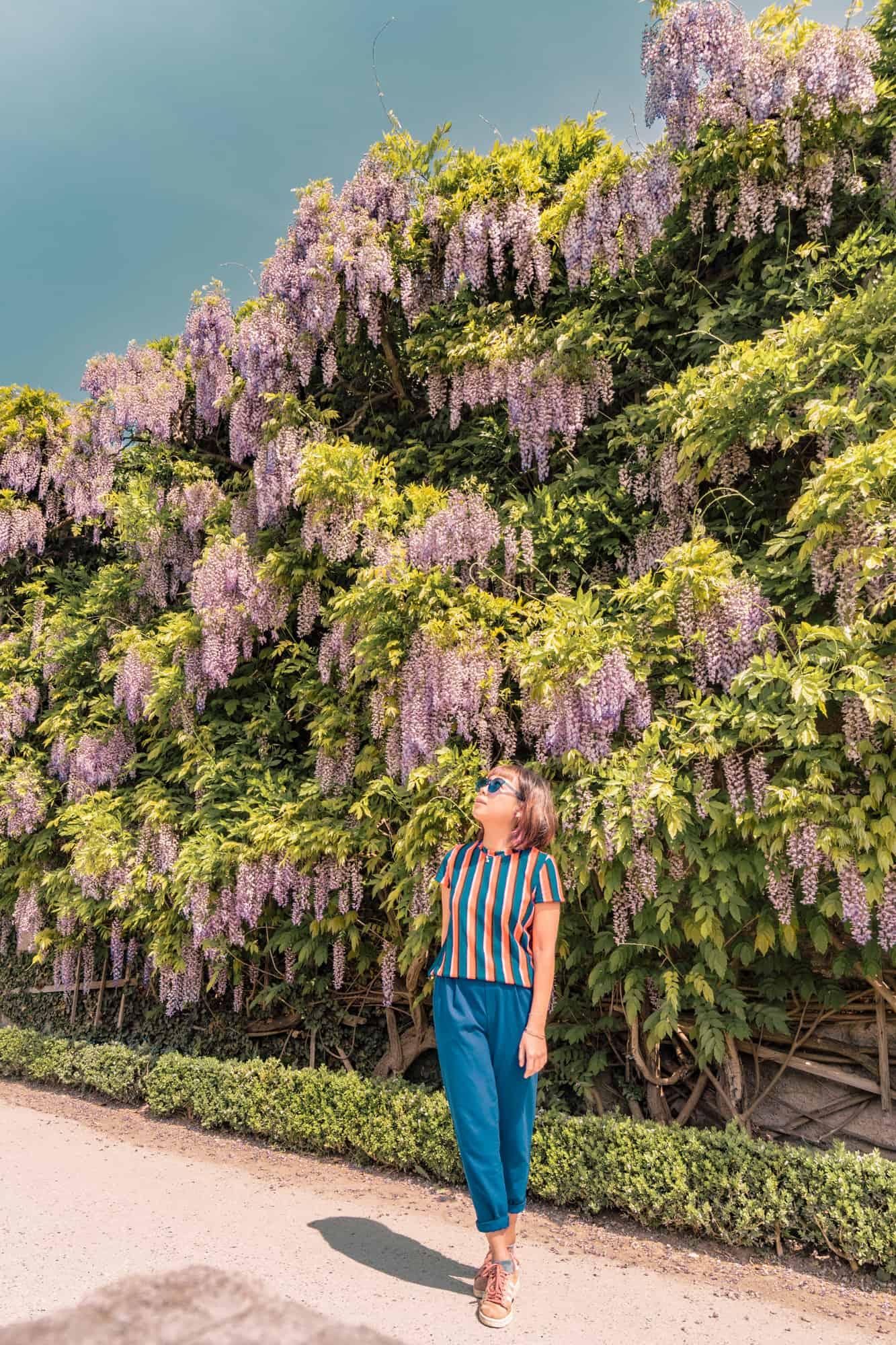 salzburg wisteria